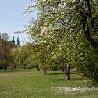 Распустившееся вишневое дерево в Вышеграде