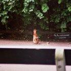 Дружелюбная белка играет в Петршинском парке