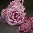 Розовый парк на Петршинском Холме